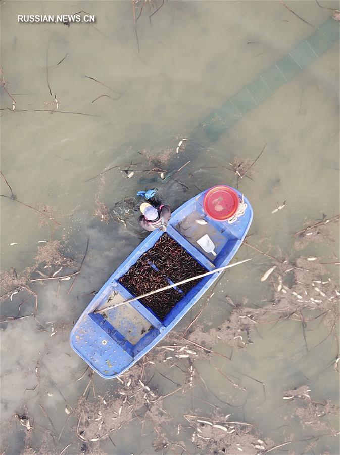 """Сбор """"урожая"""" раков в провинции Цзянсу"""
