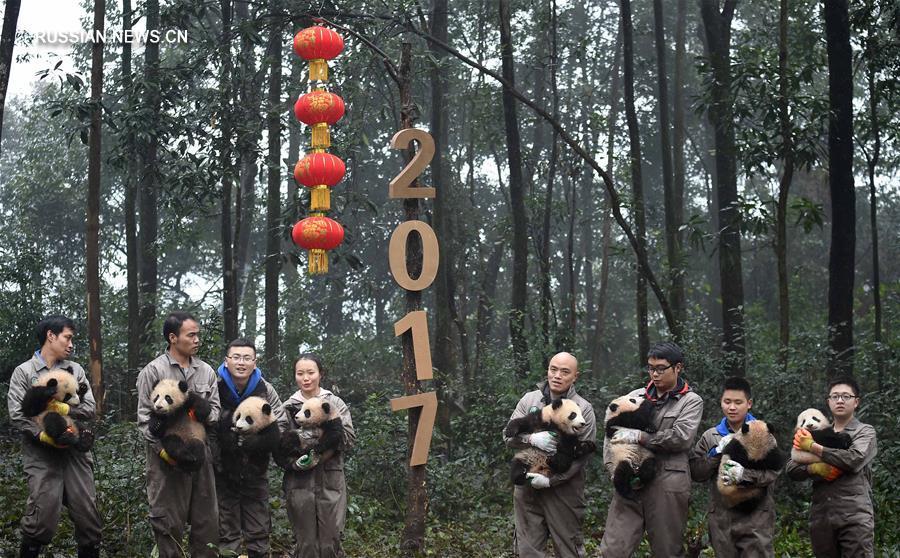 В Китае детеныши панды встретили свой первый Новый год