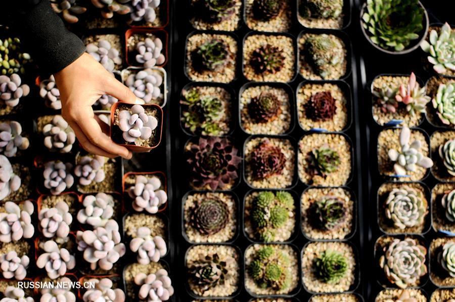 Выращивание суккулентов приносит дополнительный доход фермерам из провинции Хэбэй