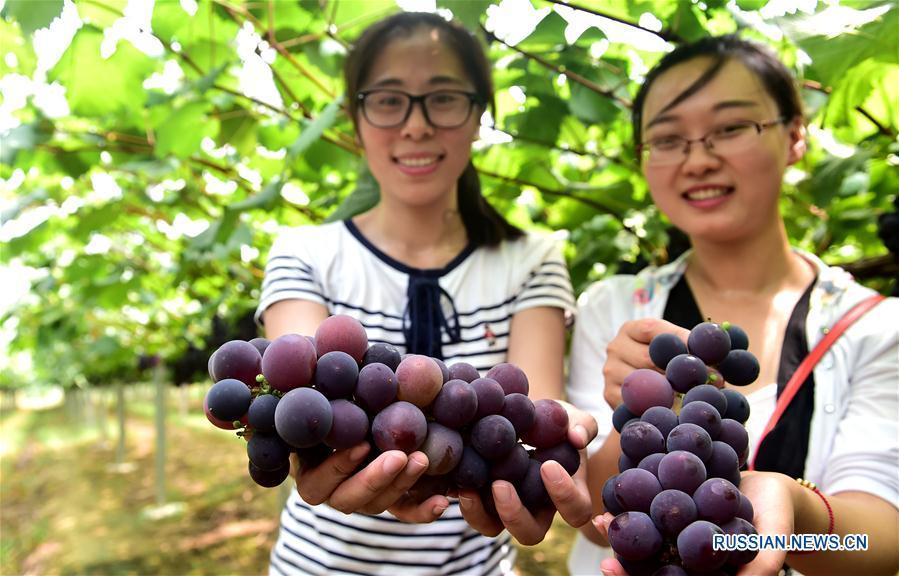 Сбор урожая на виноградниках в Хэфэе
