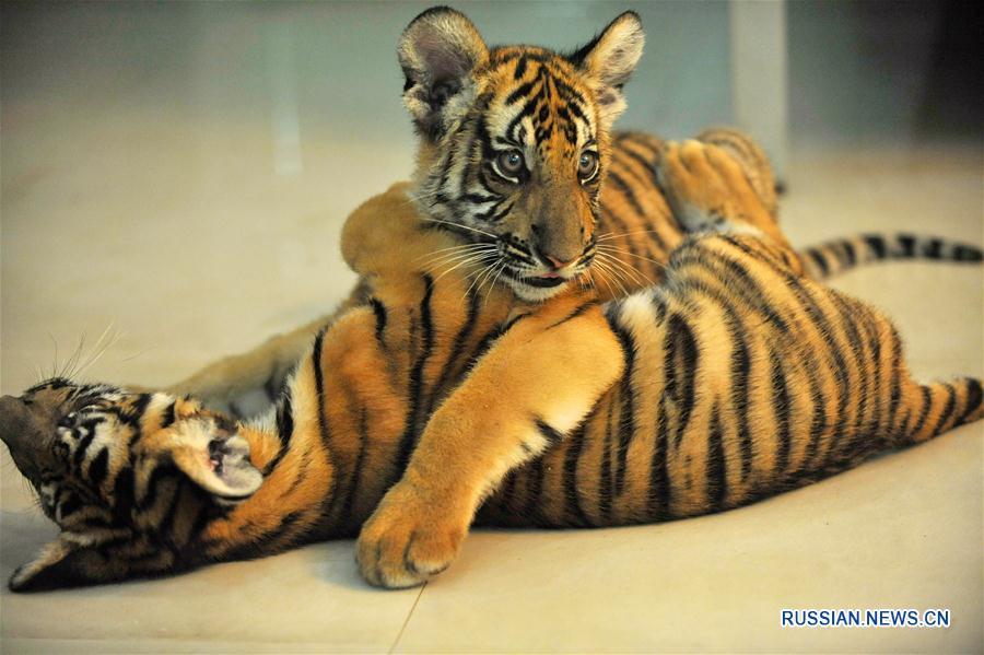 Пополнение в семействе китайских тигров, обитающих в Наньчанском зоопарке