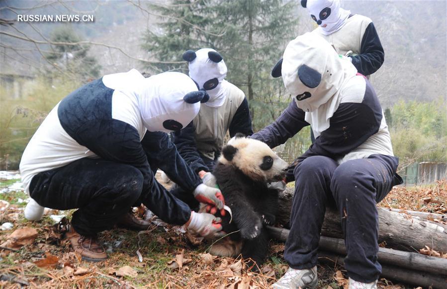 Будни базы адаптации больших панд в провинции Сычуань