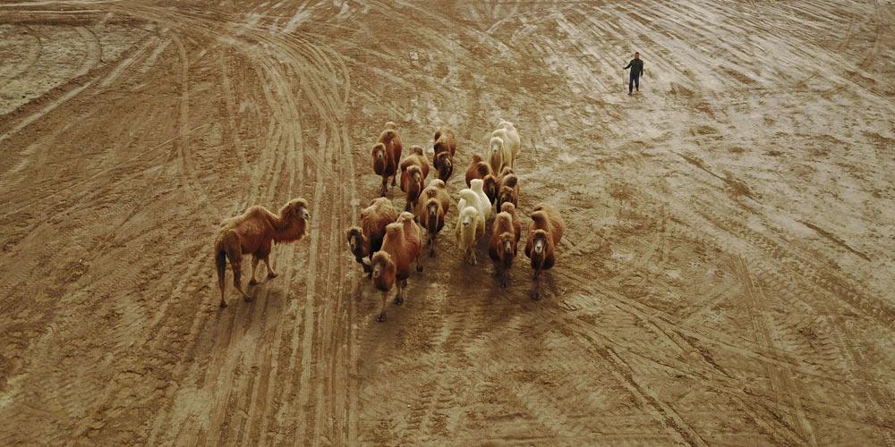 Разведение верблюдов в деревнях на северо-западе Китая