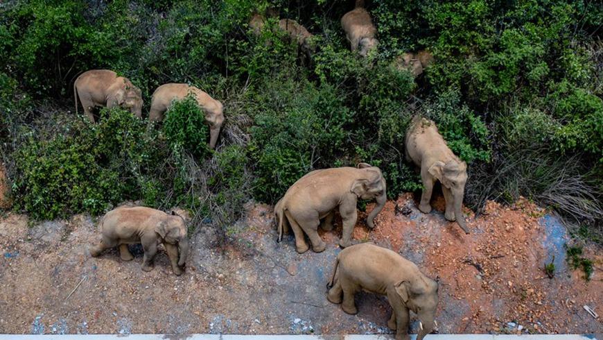 Заблудившийся слон отправлен обратно в леса на юго-западе Китая