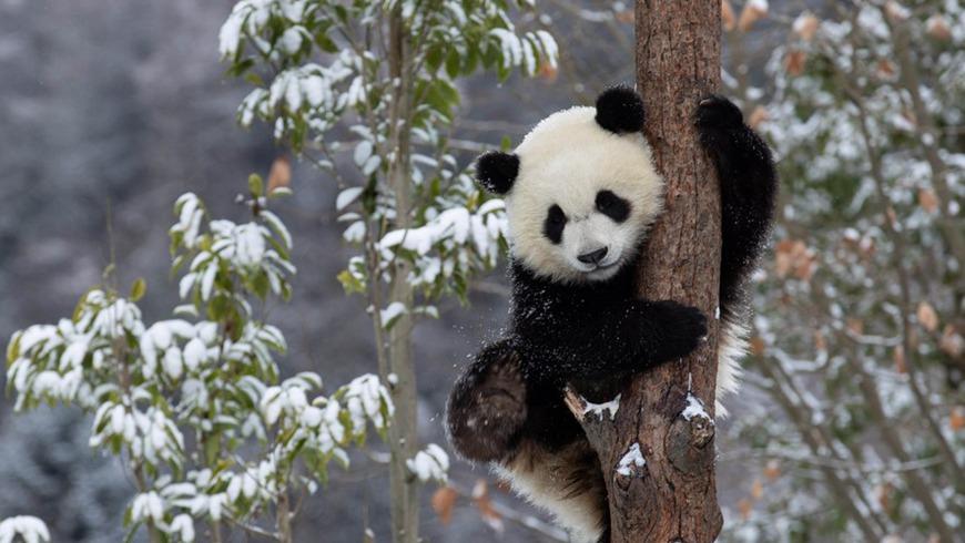 Две пары детенышей-близнецов больших панд появились на свет в один и тот же день на юго-западе Китая