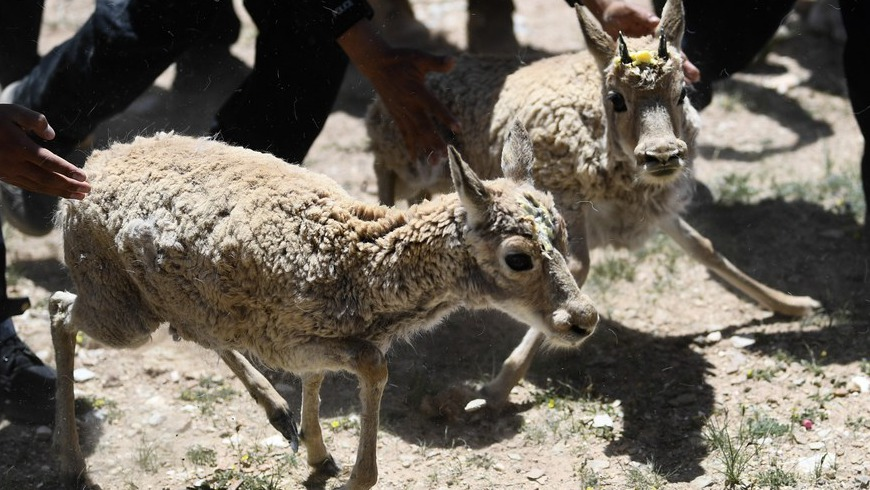 Спасенные тибетские антилопы принесли потомство