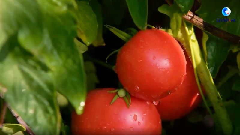 Как в Синьцзяне производят томатную пасту мирового класса?