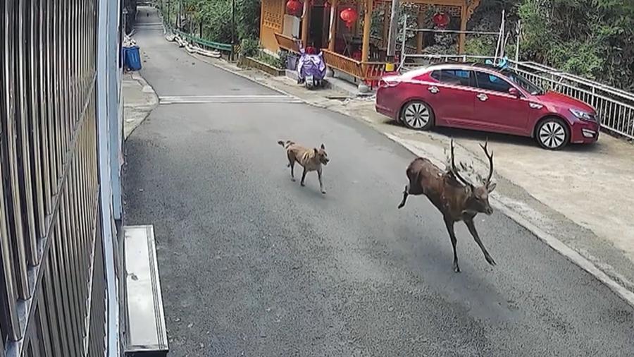 Дикий пятнистый олень замечен в пров. Аньхой на востоке Китая