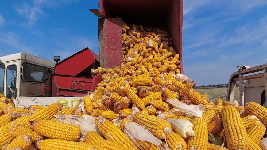Осенняя жатва на полях Китая