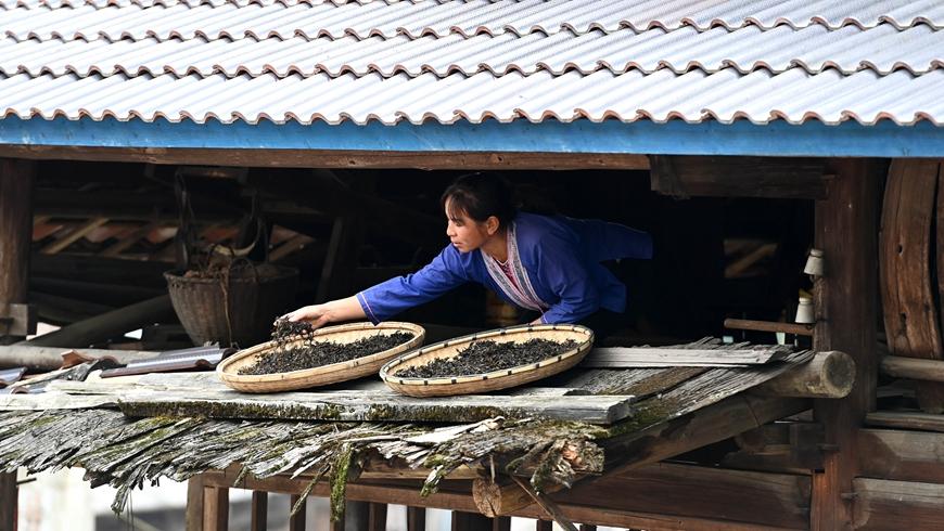 Крестьяне на юге Китая увеличивают доходы с помощью древних чайных деревьев