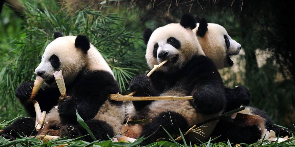 Единственные в мире панды-тройняшки полностью перешли на твердую пищу