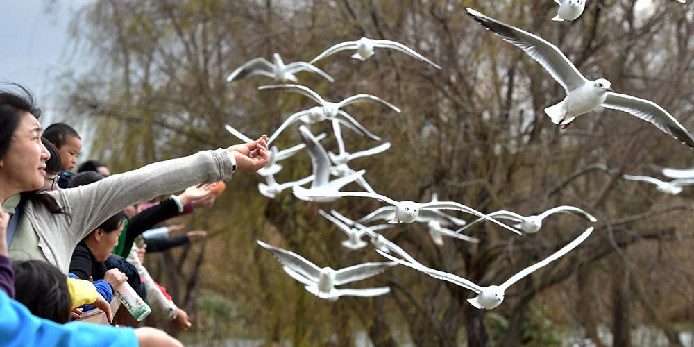 Чайки на озере Дяньчи