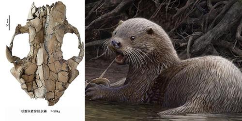 В Юго-Западном Китае обнаружены останки выдры размером с волка