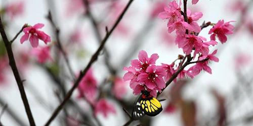 Цветение вишни в Наньнине