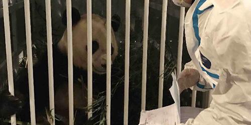 /В фокусе внимания Китая/ Панда Бао Бао вернулась из США в Китай