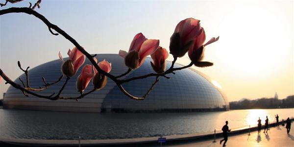 В Пекине зацвела магнолия