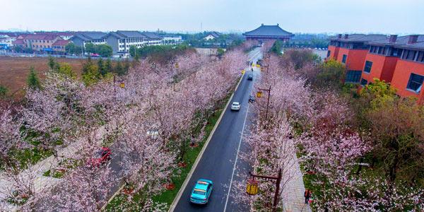 """Вишневая дорога"" в Янчжоу"