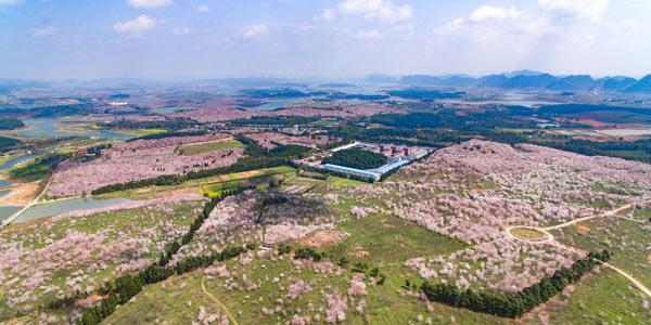 Цветущий вишневый сад в уезде Пинба