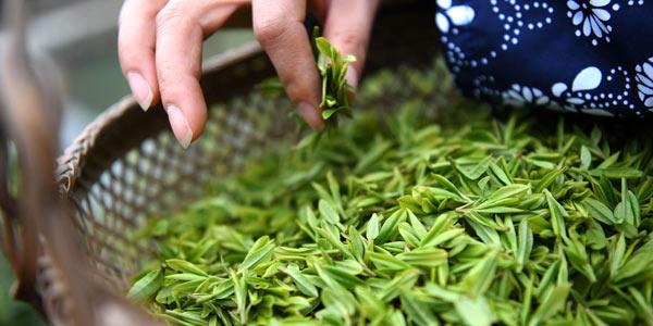 Сбор весеннего чая в провицнии Цзянси