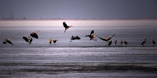 Перелетные птицы делают остановку на озере Синкайху