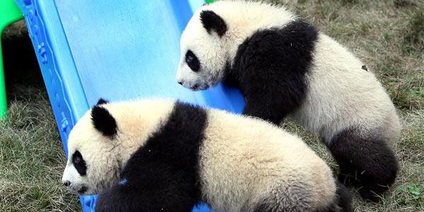 Панды-близнецы из Шанхая получили имена