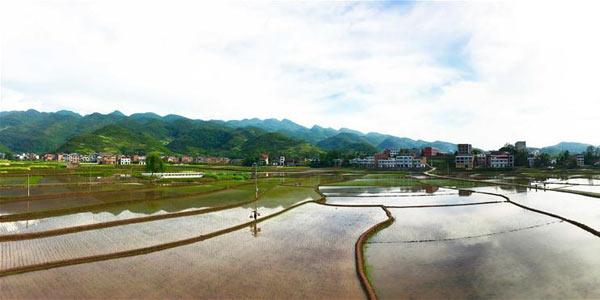 Высадка риса на полях у Трех ущелий