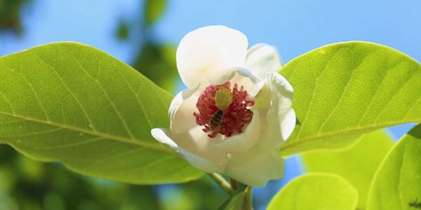 Цветение магнолий в провинции Хэбэй