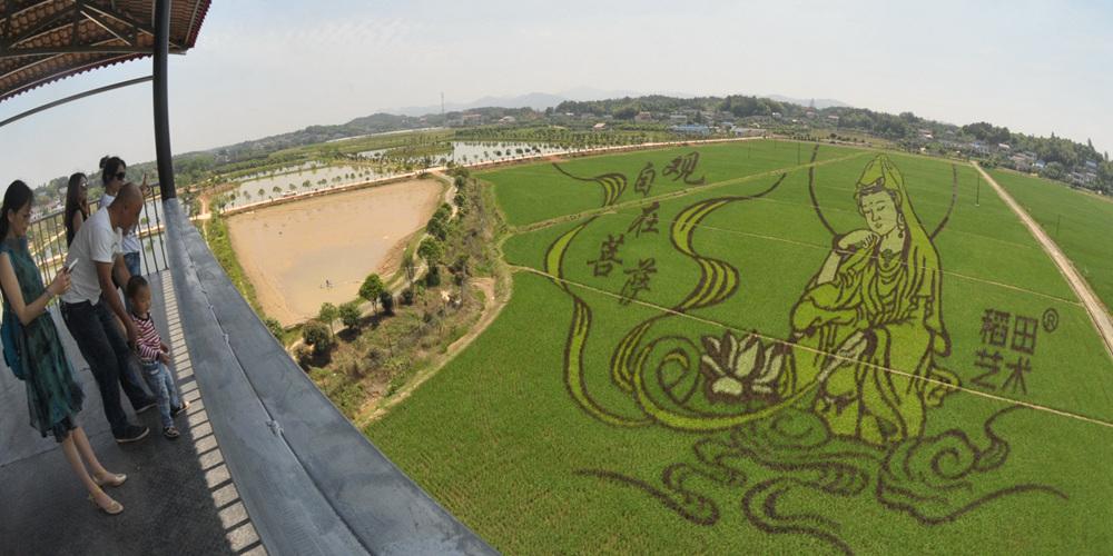Рисунки на рисовых полях в провинции Хунань