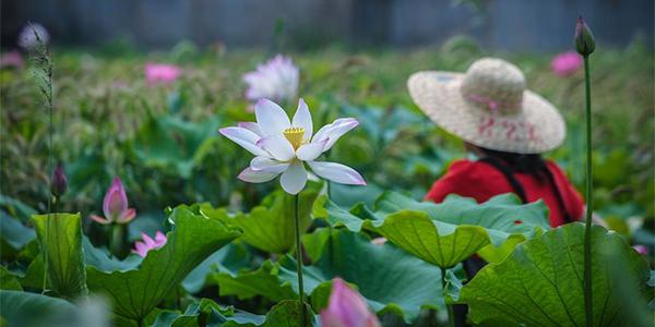Выращивание лотосов в Хучжоу