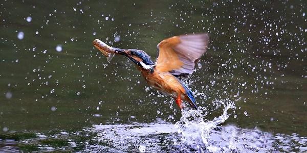 Зимородки в пекинском парке