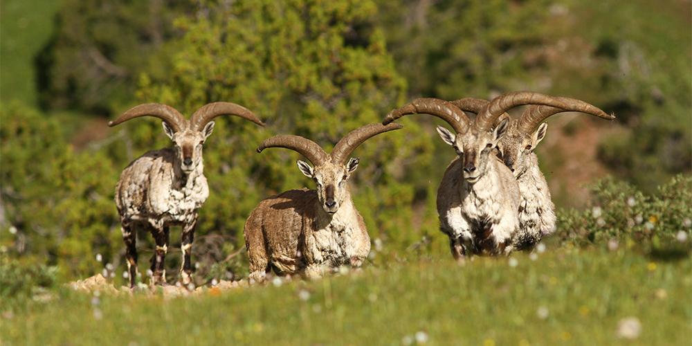 Редкие животные Цинхай-Тибетского нагорья в объективе ученых
