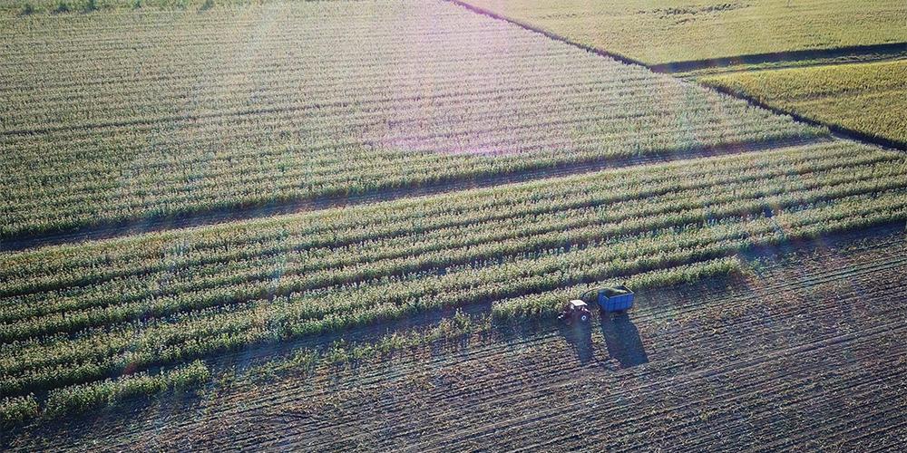 Сбор урожая кукурузы в провинции Цзилинь