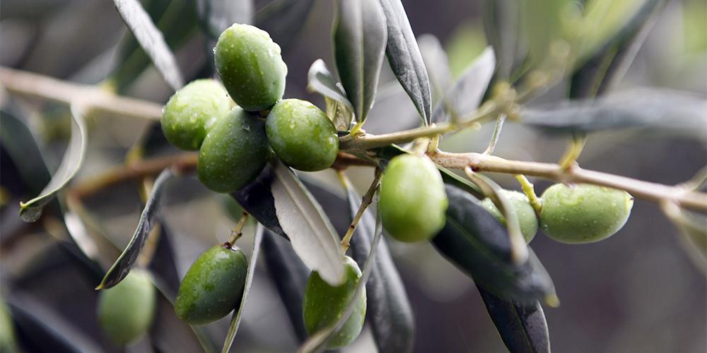 Оливки — новый путь к благосостоянию для фермеров из Ганьсу