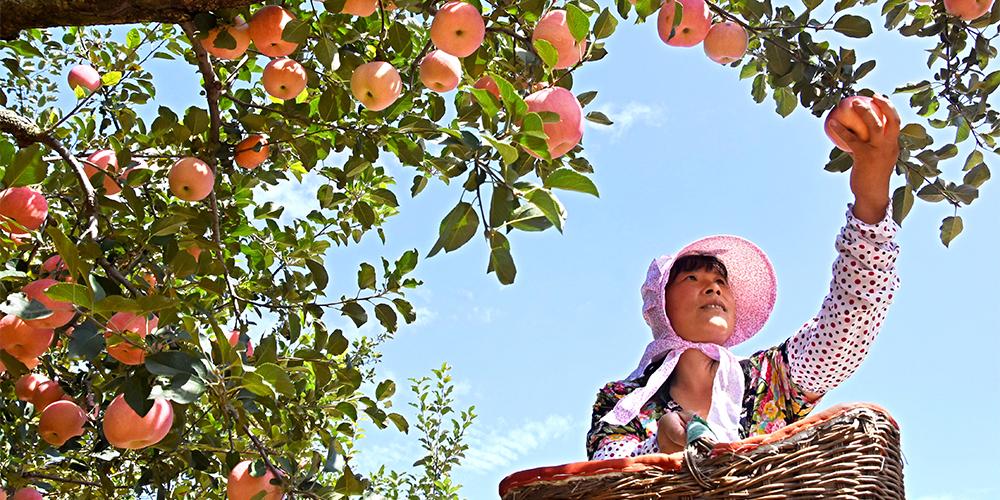 Осеннее изобилие в уезде Июань провинции Шаньдун