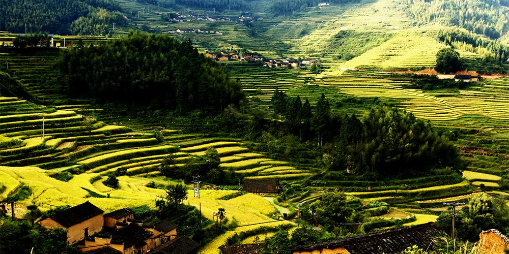 Осеннее золото террасных рисовых полей в горах Уишань