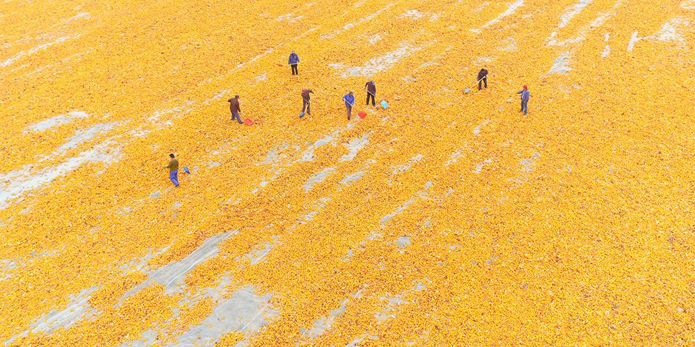 В Чжанъе собирают и сушат гибридную кукурузу