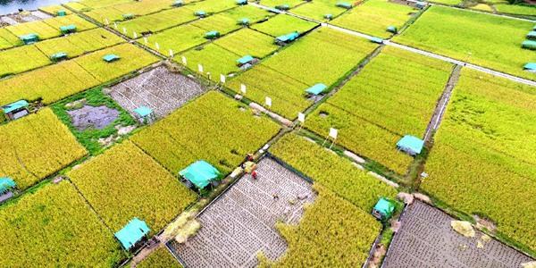 Уборка отавного риса в уезде Саньцзян