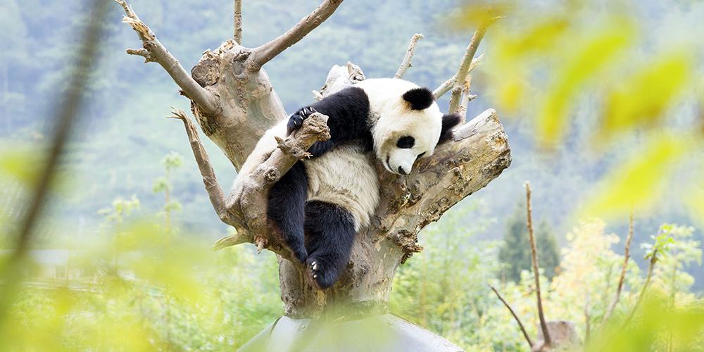 """""""Бамбуковые медведи"""" из Юго-Западного Китая"""
