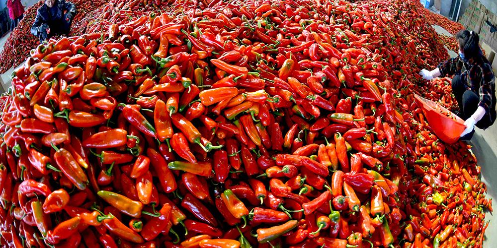 Урожай острого перца позднего созревания в уезде Фунань