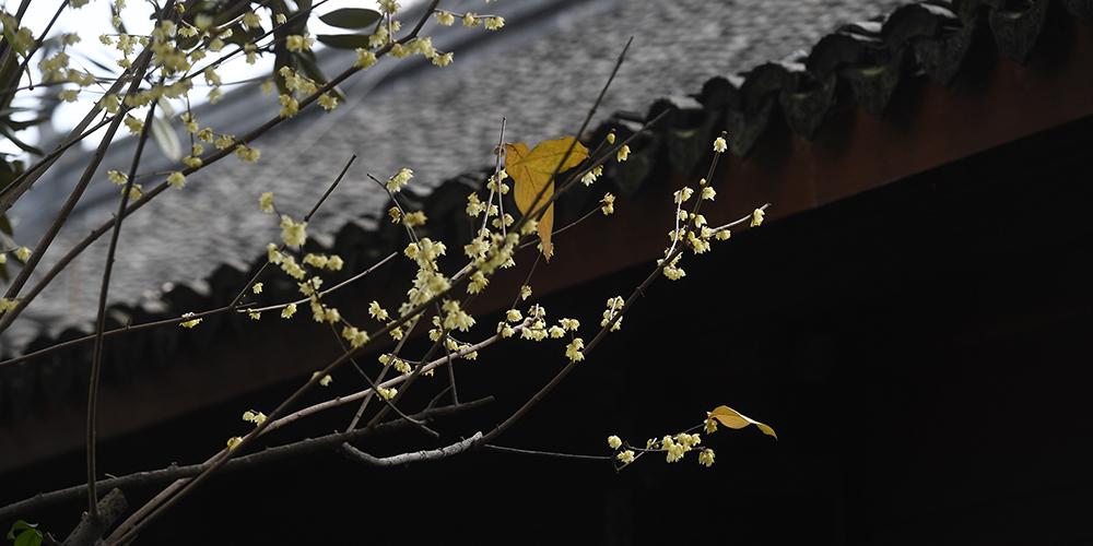 В провинции Чжэцзян началось цветение сливы