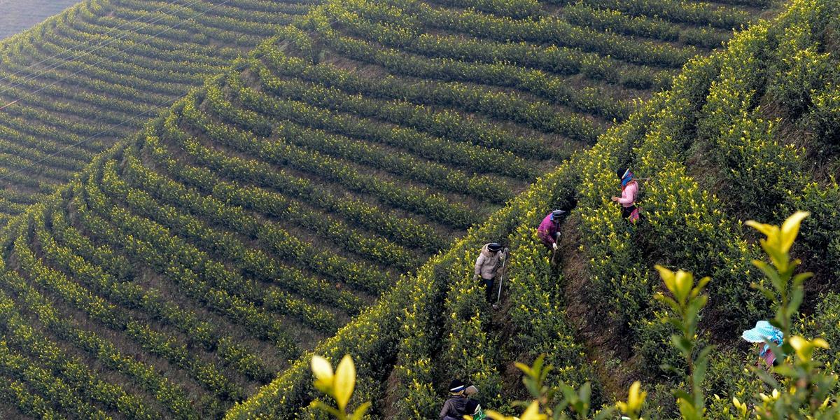 Работы на чайных полях в провинции Гуйчжоу
