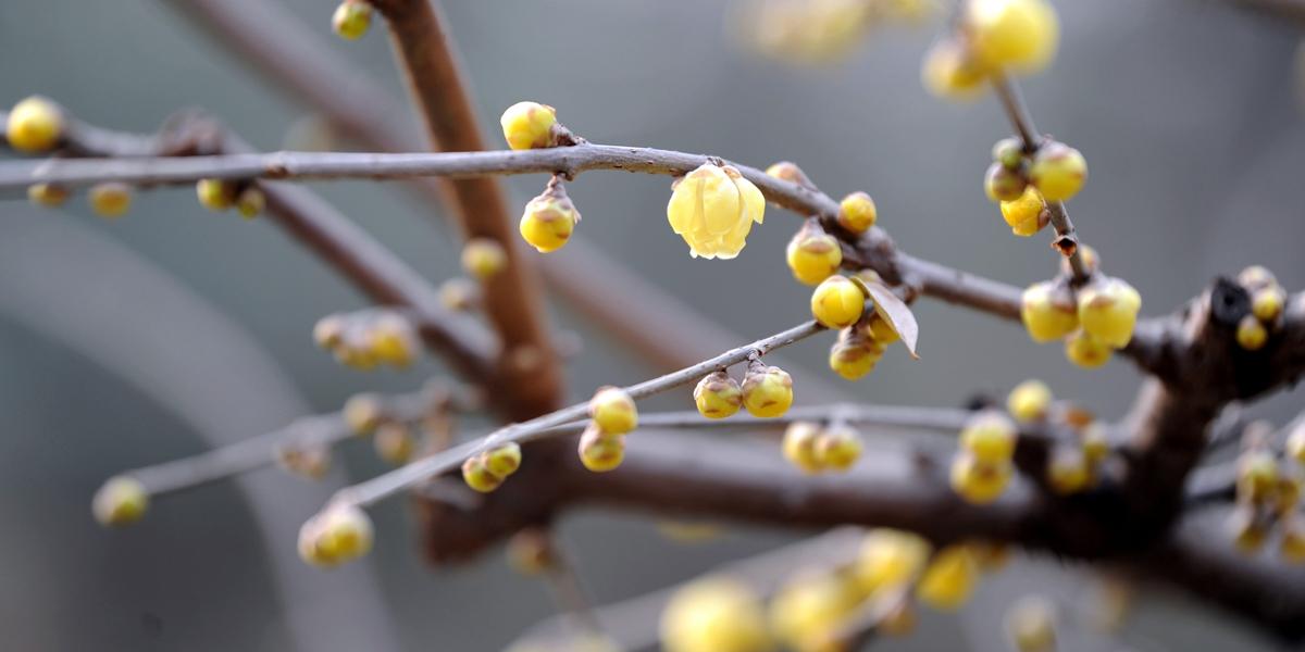 Цветы химонанта в зимнем Сиане