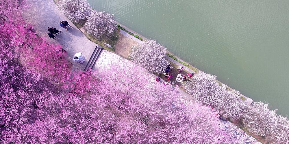 В Китае расцвели сливовые деревья