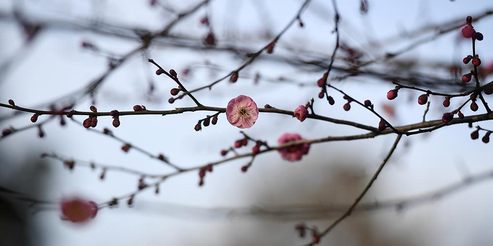 В ботаническом саду Ханчжоу зацвела слива