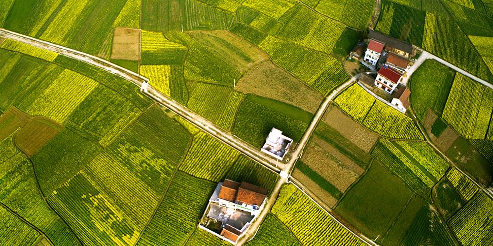 Цветущие поля рапса в провинции Шэньси