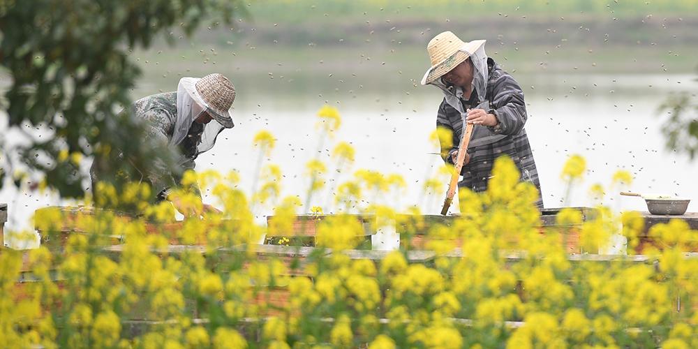 Сбор меда на цветущих полях рапса в провинции Хубэй