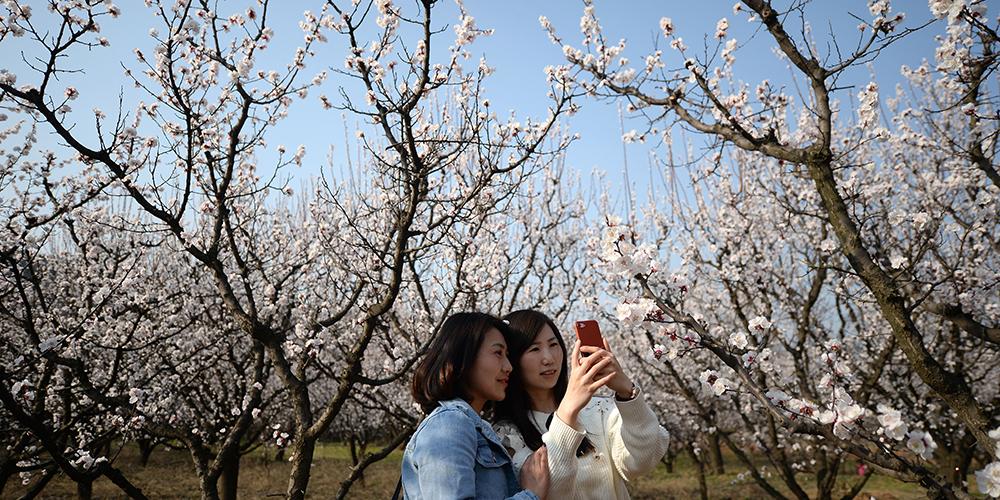 Цветущие абрикосовые деревья в провинции Шэньси