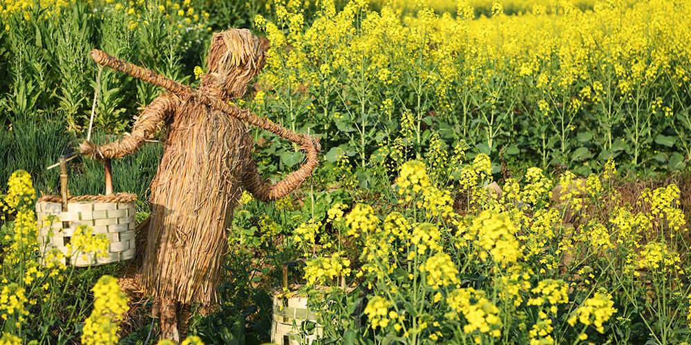 Цветущие рапсовые поля в Чунцине