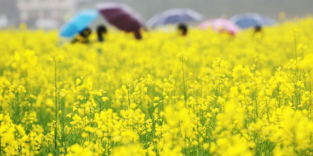 Цветение рапса в провинции Хунань