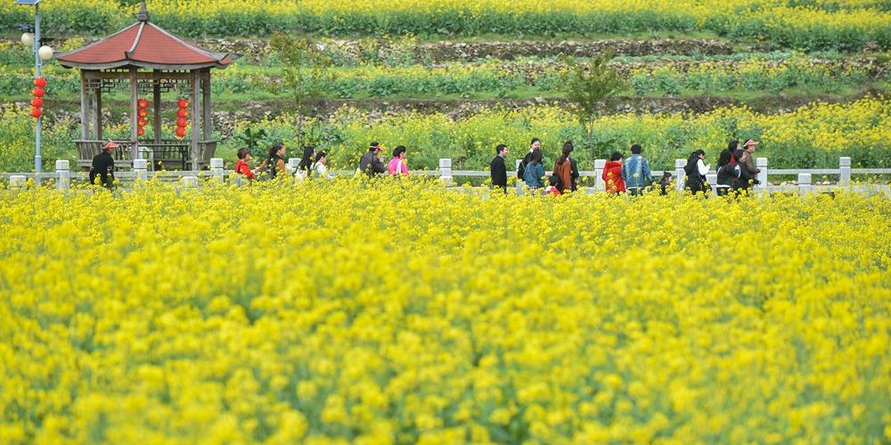 Цветение рапса в провинции Фуцзянь